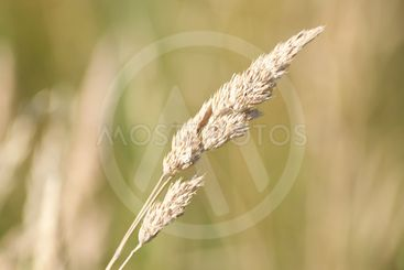 Grass straw after bloom