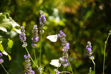 Levander flower with butterfly.