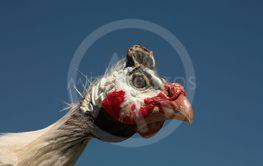 Helmeted Guinea Fowl (Numida Meleagris) portrait