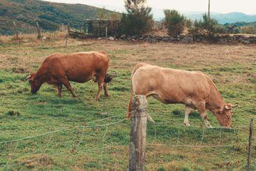 Pair of brown cows eating grass in a farm