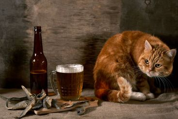 The red Cat looks at beer and fish