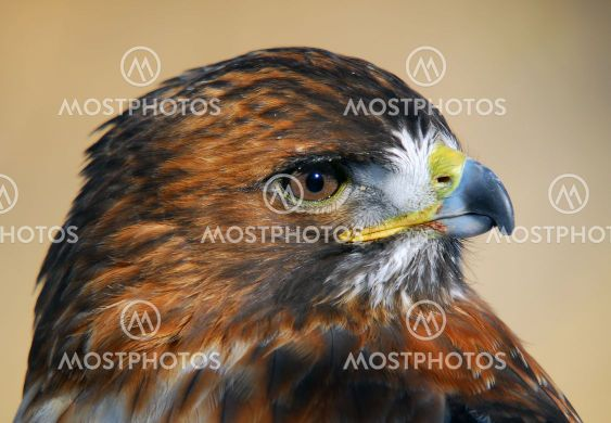 Red - tailed Hawk (Buteo jamaicensis)