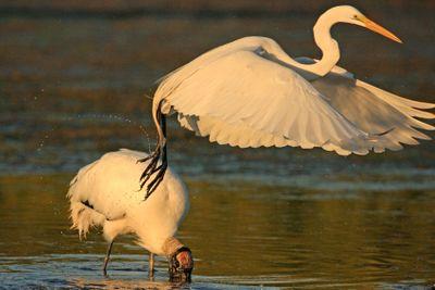 Great Egret (Ardea alba) flying