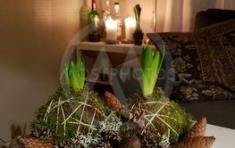 Hyacint i mossa