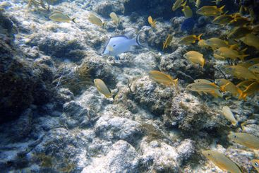 An underwater photo of a Hogfish