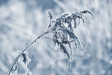 Frost and snow on branches. Beautiful winter seasonal...