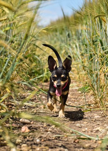 Chihuahua is going in the field.