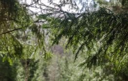 Granskog med diffus väg i bakgrunden