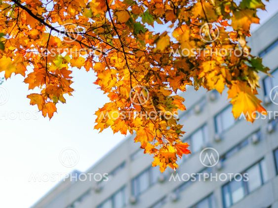 Bottom view of yellow-orange maple leaves against the...