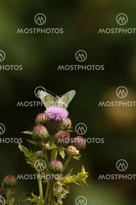 butterfly and thistlebutterfly and thistle
