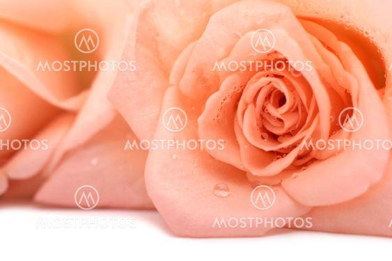 Rosa ökade på vit bakgrund