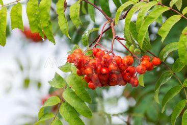 Rönnbärstider