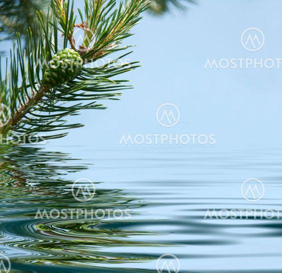 Fyrretræ, filialer og kegle afspejler i vandet
