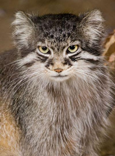 Manul or Pallas cat