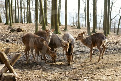 Flock of deer