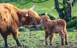 Highland Cattle cow and calf - Silvertid
