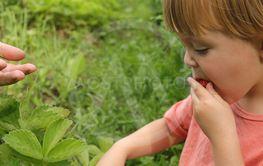 Toddler eating strawberry in garden