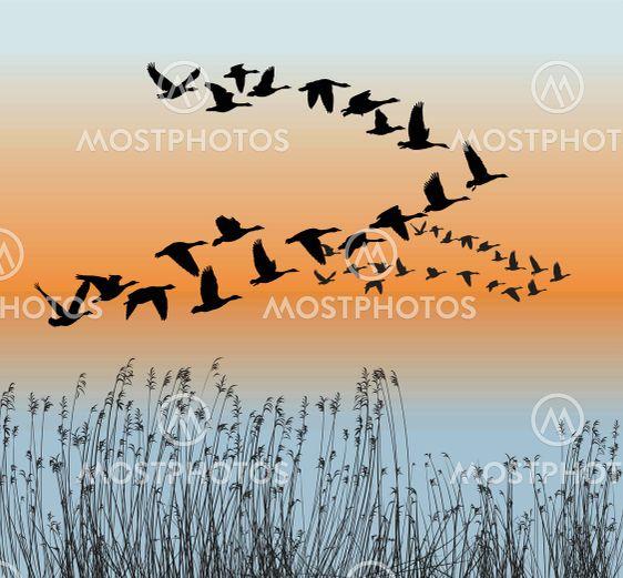 Spring goose migration