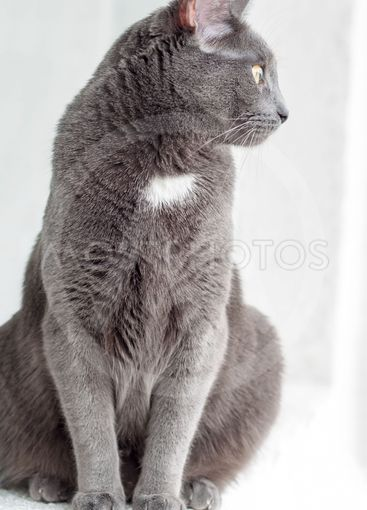 Breed Russian blue cat. Gray beautiful cat looking out...