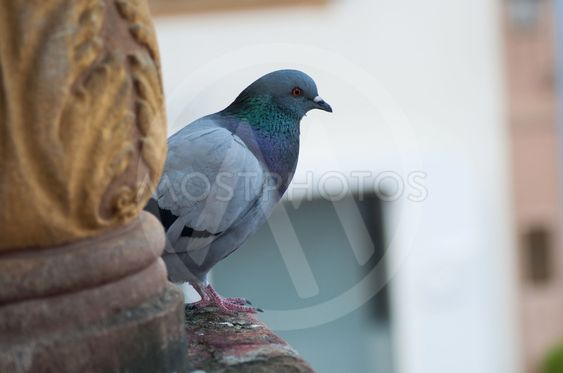 pigeon standing  in the city