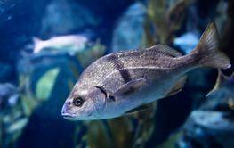 Marine game fish