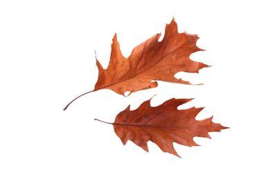 Autumn leaves of a pin oak