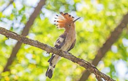 hoopoe sitting on branch of tree