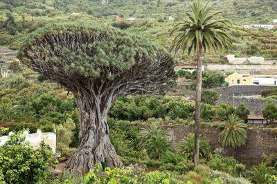 Tenerife - dragon tree