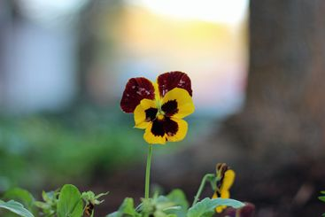 Yellow red wild pansy close-up