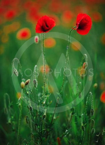 Red poppy flowers against the sky. Shallow depth of field.