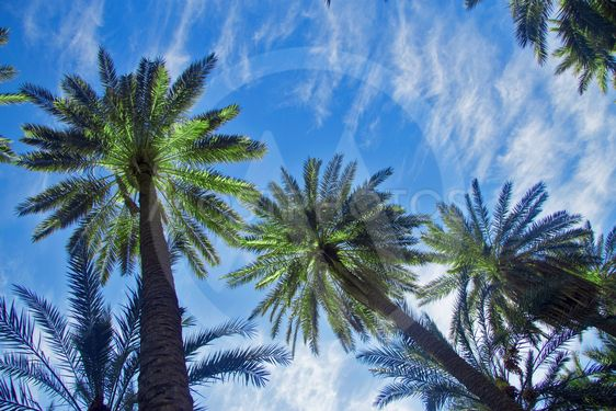 Date palm trees against blue sky with white clouds