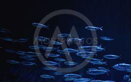 Shoal of fish deep undersea