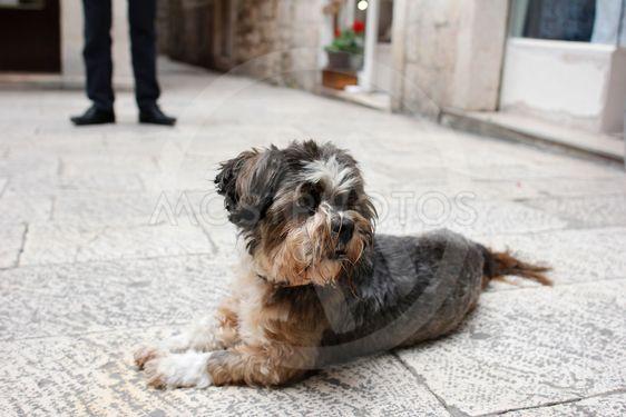Hund i Split
