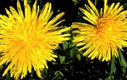 Two bright yellow dandelion flower in a meadow on a dark...