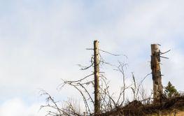 Högstubbar lämnade som naturvård vid skogsbruk