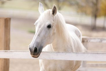 white horse stallion. beautiful horse in the corral.