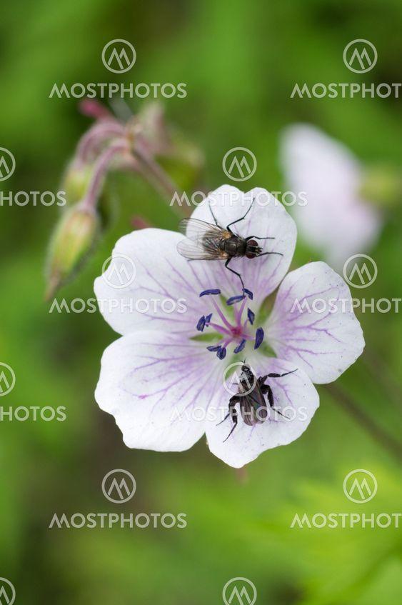 Insekter på blomma