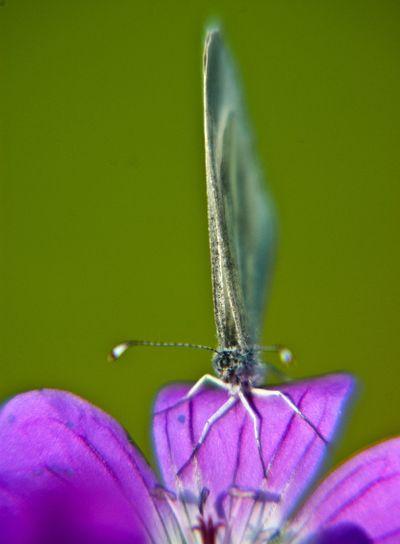 Fjäril(sblomma)