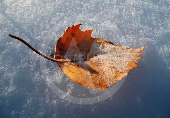 Yellow fallen frosty leaf on the snow