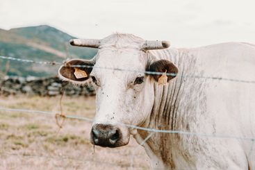 White giant cow with giant horns in the farm looking...