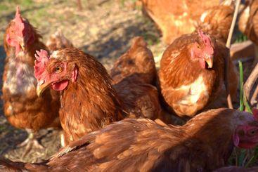 red hen home on mini farm.