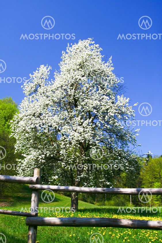 Blooming tree and meadow