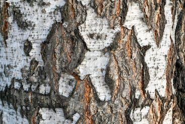 The texture of the birch bark. Natural bark of birch...