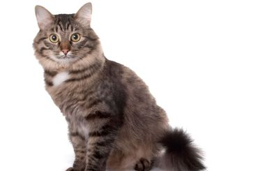 The cat sits on a white background
