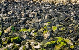 accumulation of sea rocks covered in seaweed at the...