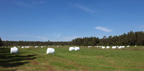 Hay bales, silage waiting for collection.