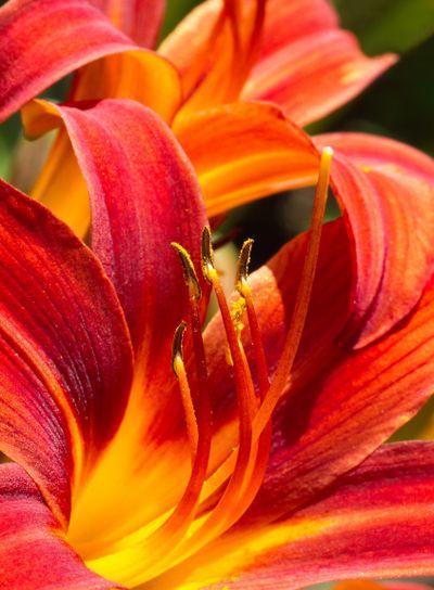Daylilies in summersun