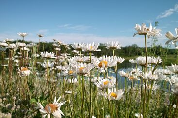 Wild Flowers and Pond