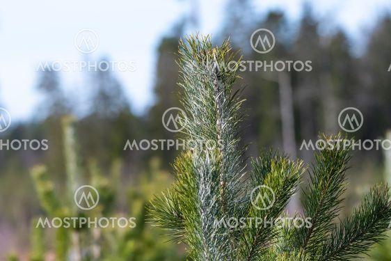 Tallplanta som behandlats med viltskyddsmedel för att...