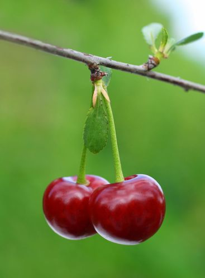 pair of cherry